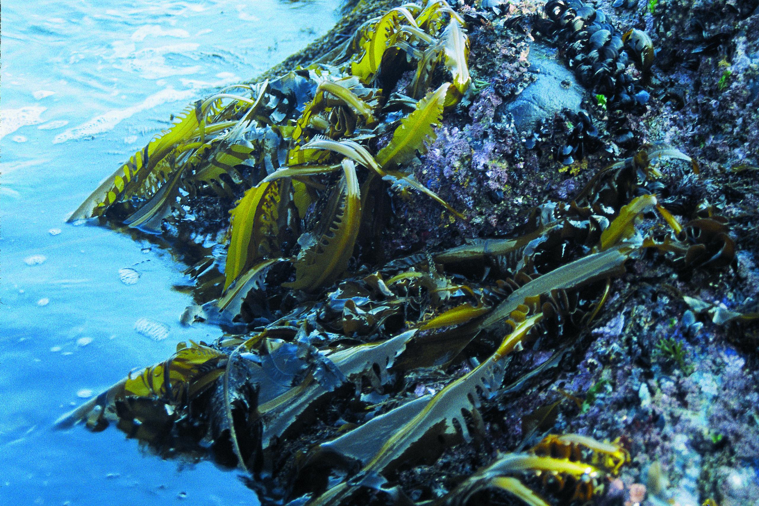Frische grüne Algen am Meeresrand