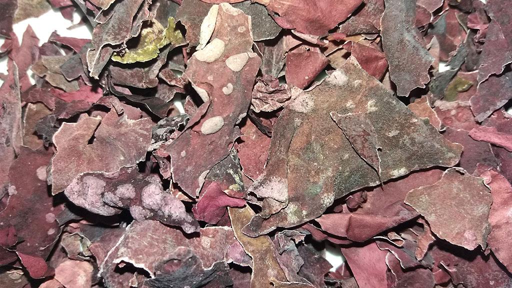 Foto von getrockneten Rotalgen mit Alginat-Flecken