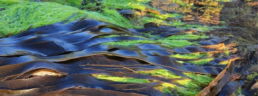 Foto von atlantischen Algen im Messer