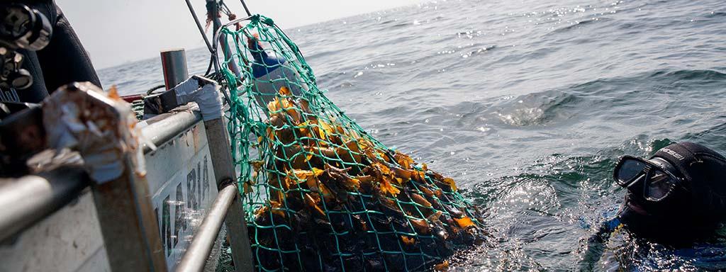 Foto eines Tauchers, der ein Netz frischer Atlantikalgen an ein Boot übergibt