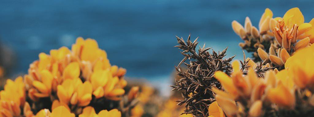 Foto von gelben Blüten vor Atlantikküste in Galizien