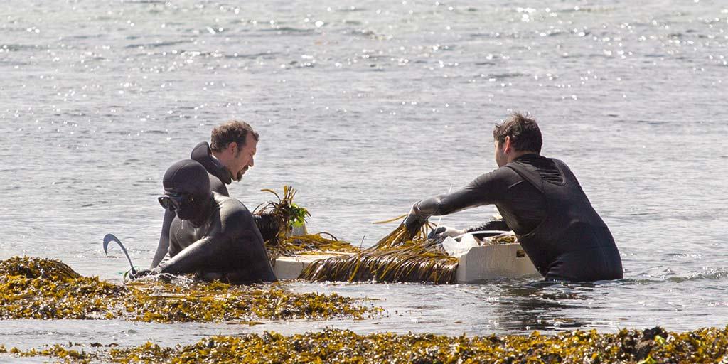 Foto der Ernte von Meeresspaghetti bei Algamar in flachem Wasser